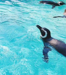 泳ぐペンギンの写真・画像素材[992080]
