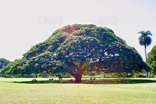 モアナルア ・ ガーデンパークのモンキーポッドの写真・画像素材[997250]