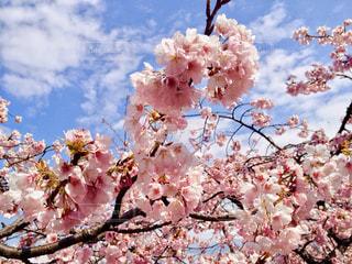 桜の写真・画像素材[1018821]