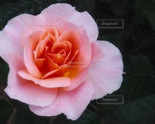 ピンクの薔薇の写真・画像素材[1070767]