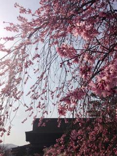 善光寺としだれ桜の写真・画像素材[1122051]