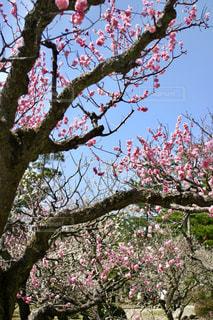 兼六園の梅の写真・画像素材[1122080]
