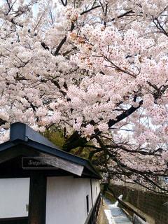 高山市 江名子川沿いの桜 - No.1122406