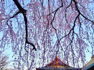京都 天龍寺のしだれ桜の写真・画像素材[1122772]