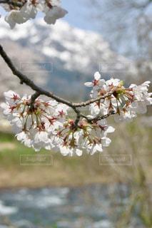 九頭竜川河畔の桜の写真・画像素材[1123689]