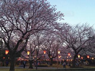 石川県小松市 芦城公園の桜の写真・画像素材[1130216]