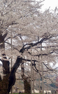 荘川桜 - No.1132548