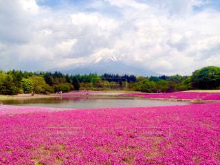 富士山と芝桜の写真・画像素材[1132633]