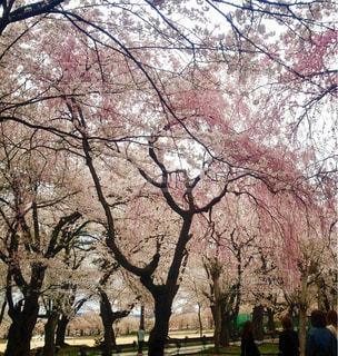 高田公園の桜 - No.1132716