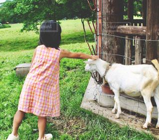 ヤギと女の子の写真・画像素材[1163167]