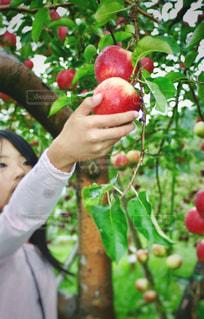 雨上がりの中でりんご狩りの写真・画像素材[1163210]