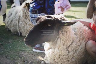 羊と子どもの写真・画像素材[1168243]