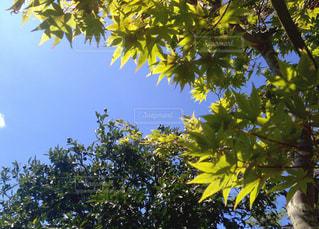 もみじとみかんの木の写真・画像素材[1169671]