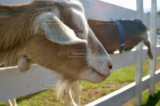 牧歌の里のヤギの写真・画像素材[1204137]