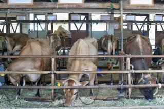 牧歌の里の牛の写真・画像素材[1204138]