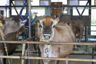 牧歌の里の牛の写真・画像素材[1204140]