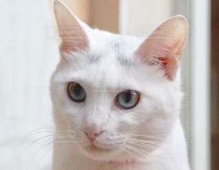 ダイクロイックアイの猫の写真・画像素材[1205205]
