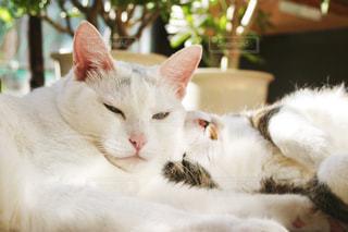 猫,動物,白,室内,昼寝,仲良し,ねこ,白猫,のんびり,眠い,ひなたぼっこ,哺乳類,トラ猫,きょうだい,ネコ,横たわる,2