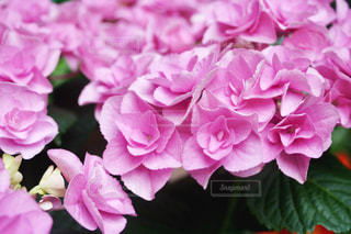 ピンクのアジサイの写真・画像素材[1216507]