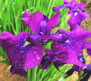 花,緑,植物,紫,水滴,パープル,鮮やか,アップ,菖蒲,雨上がり,梅雨,雨粒,ショウブ,フォトジェニック