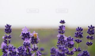 ラベンダーとミツバチの写真・画像素材[1233743]