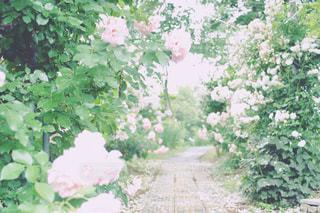 バラの咲く小路の写真・画像素材[1247600]