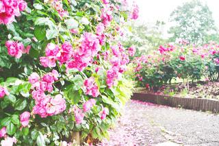 ピンクのバラの写真・画像素材[1251985]