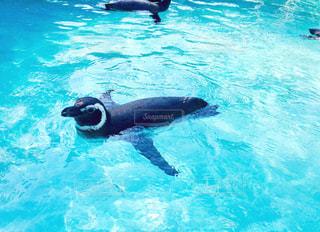 カメラ目線のペンギンの写真・画像素材[1314229]
