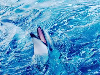 カメラ目線のイルカの写真・画像素材[1314267]