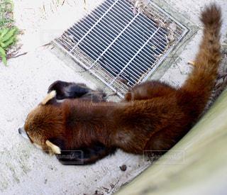 日陰で休むレッサーパンダの写真・画像素材[1339515]