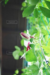 花,緑,植物,赤,葉,影,つぼみ,涼しい,アサガオ,グリーンカーテン,軒下,環境,フウセンカズラ,軒,熱中症対策,暑さ対策
