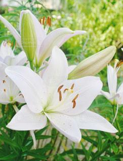 ユリの花の写真・画像素材[1369579]