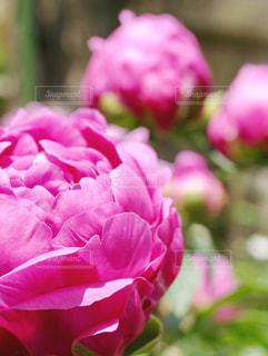 シャクヤクの花の写真・画像素材[1369770]