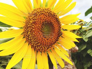 ひまわりとミツバチの写真・画像素材[1378778]