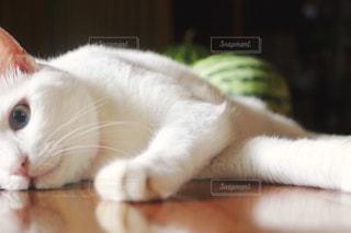 猫,夏,動物,屋内,白,スイカ,暑い,ねこ,床,白猫,哺乳類,意地悪,夏バテ,ネコ,邪魔,横たわる,放心状態,ダイクロイックアイ,知能犯
