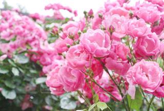 ピンク色のバラの写真・画像素材[1391710]