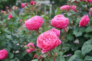 ピンクのバラの花の写真・画像素材[1391763]