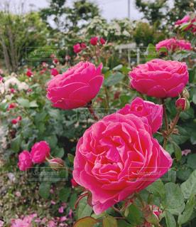 ピンクのバラの花の写真・画像素材[1391791]
