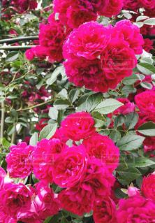 濃いピンク色のバラの花の写真・画像素材[1391800]