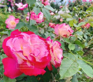 バラの花の写真・画像素材[1391803]
