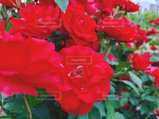 真っ赤なバラの写真・画像素材[1391808]