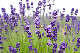 ラベンダーとミツバチの写真・画像素材[1392591]