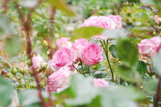 ピンクのバラの写真・画像素材[1401772]