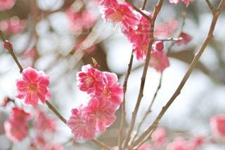 兼六園の紅梅の写真・画像素材[1418251]