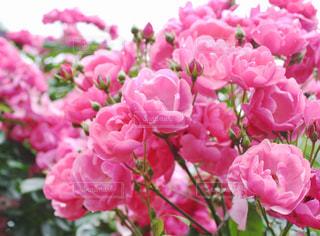 ピンクのバラの写真・画像素材[1435144]