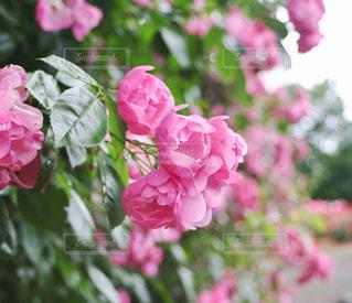 花,ピンク,植物,バラ,花びら,薔薇,バラ園,富山県,6月,フォトジェニック,氷見市,氷見あいやまガーデン