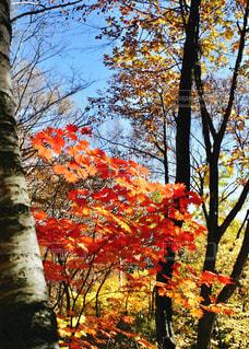 秋,紅葉,屋外,青空,景色,樹木,旅行,快晴,秋空,雑木林,お出かけ,八ヶ岳,フォトジェニック
