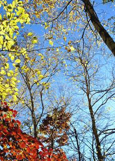 秋,紅葉,屋外,赤,青空,青,景色,樹木,旅行,快晴,黄,秋空,八ヶ岳,フォトジェニック