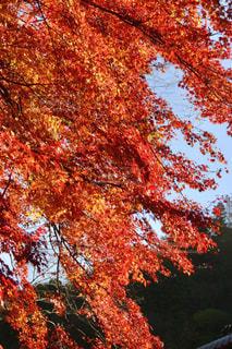 秋,紅葉,屋外,赤,青空,青,もみじ,景色,樹木,旅行,快晴,秋空,愛知県,香嵐渓,豊田市,足助町