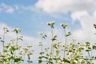 花,秋,白,雲,青空,秋空,蕎麦畑,蕎麦の花,フォトジェニック